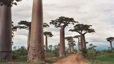 Theflora of Madagascar, Arabic newspaper -Profile News