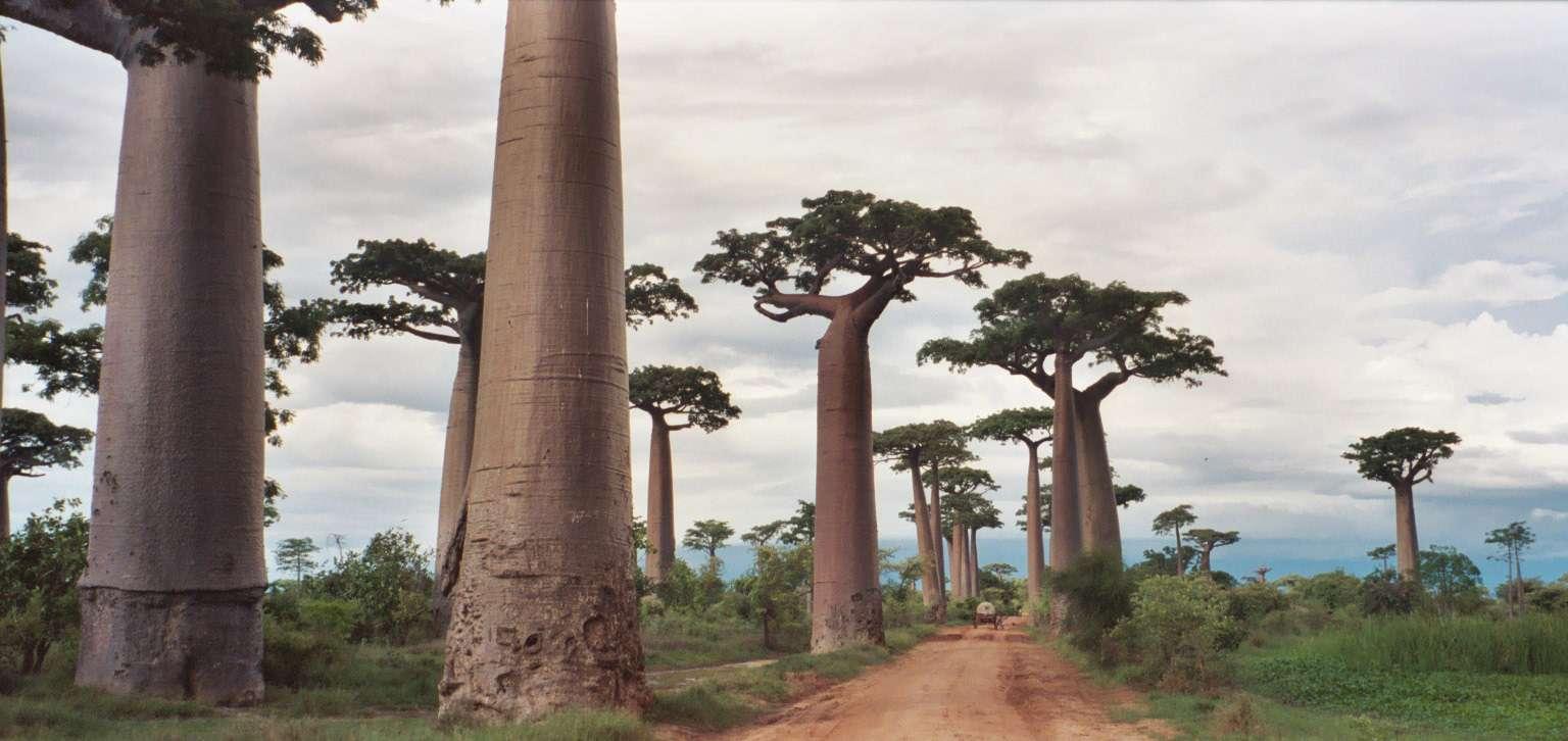نباتات مدغشقر, صحيفة عربية -بروفايل نيوز