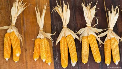 Benefits of boiled yellow corn, Arabic newspaper -Profile News