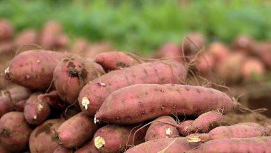 Benefits of eating sweet potatoes, Arabic newspaper -Profile News