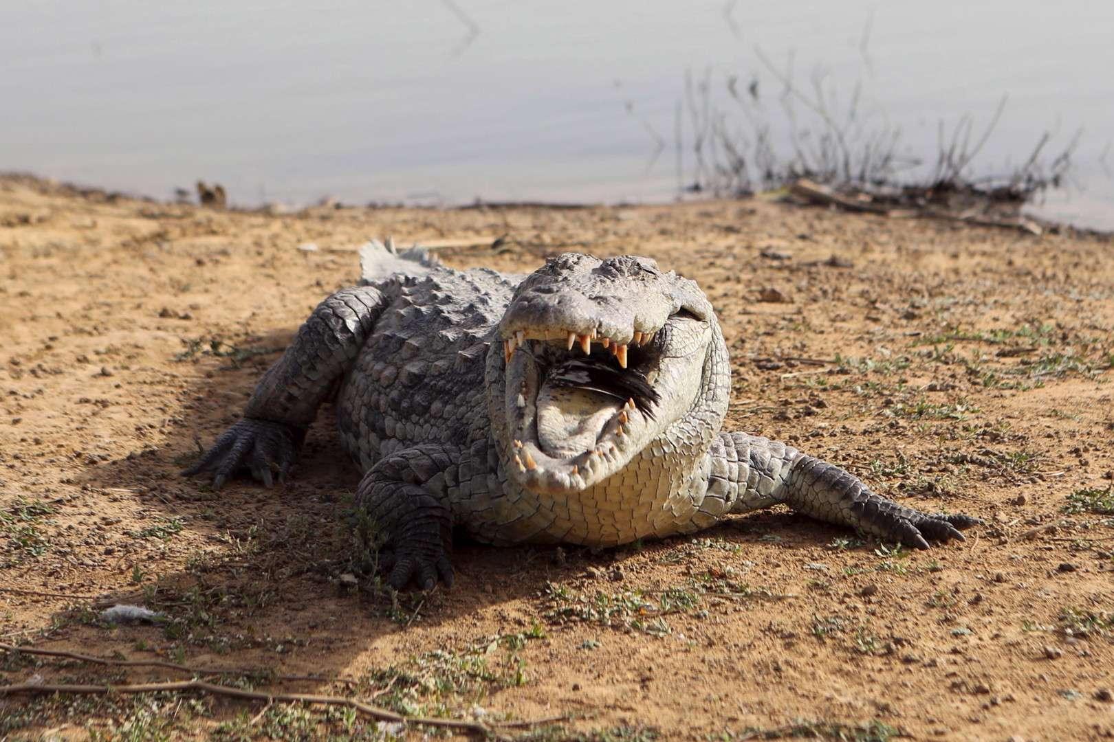 Warning in Egypt and Sudan .. The emergence of Nile crocodiles!, Arabic newspaper -Profile News